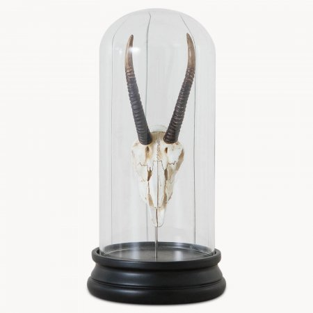 Waverton Antelope Head in Glass Cloche